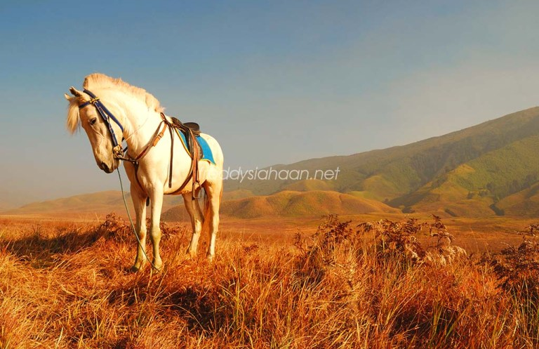 a pony at mt. bromo